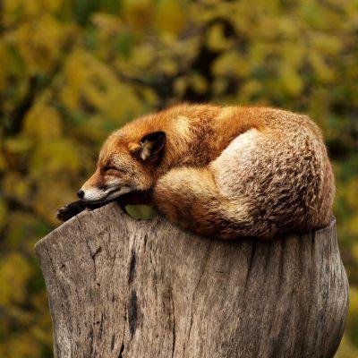 fox-g214c1fdac_1920